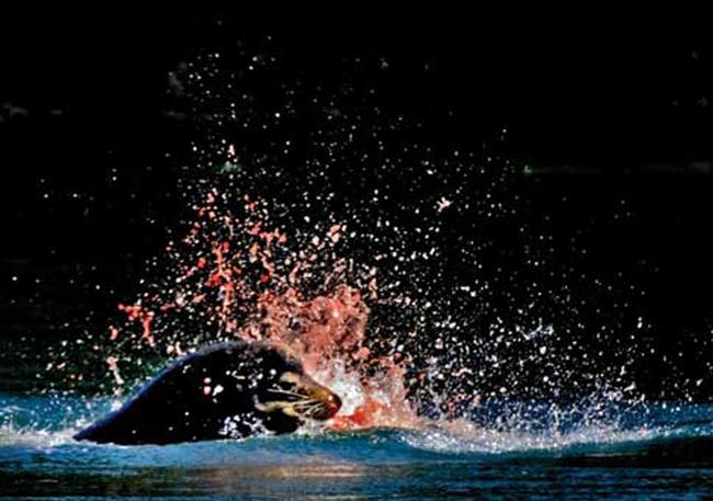 A California sea lion feasts on a salmon.