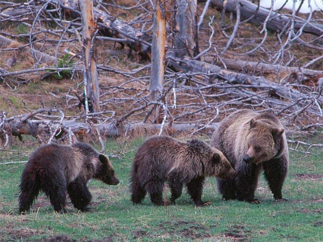 A female grizzly bear & family rambles through Yellowstone National Park.