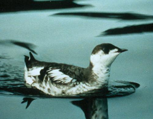 A marbled murrelet swimming