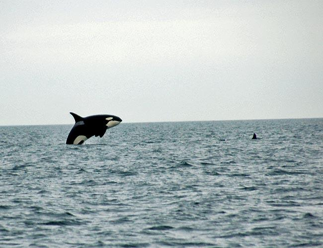 NOAA researchers hope to discover where orcas off the coast of Washington go in the winter.