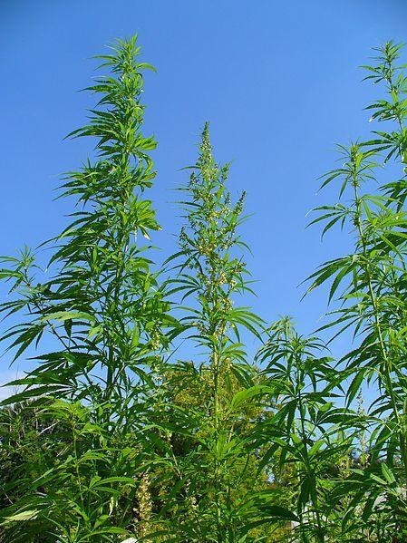 An outdoor marijuana garden.