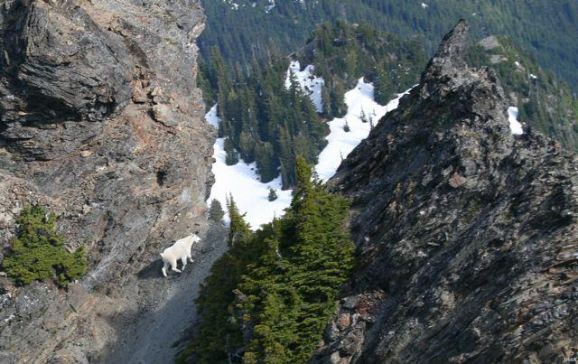 A mountain goat in Olympic National Park.