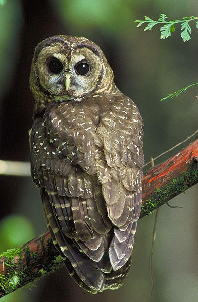 A northern spotted owl seen in Six Rivers National Forest.