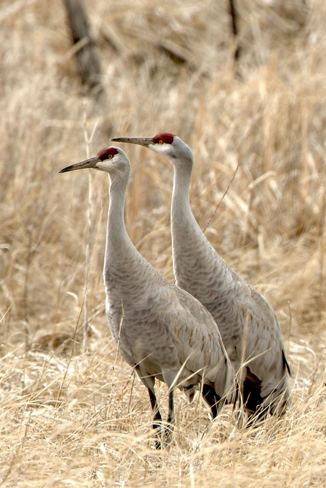 A pair of Sandhill Cranes nesting near Howard Prairie Lake, in the Cascades.