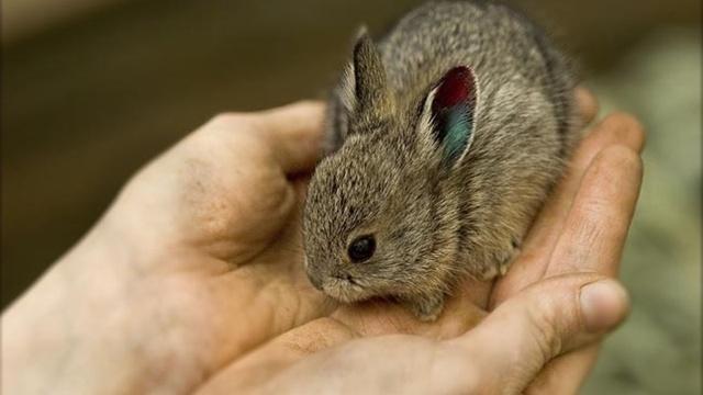 Pygmy rabbits are the smallest rabbits in North America.