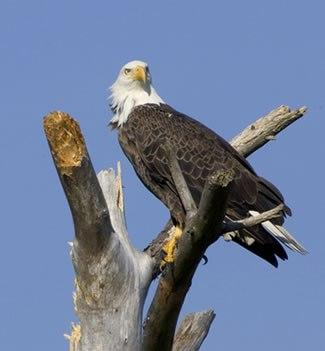 A Bald Eagle perches on a branch.