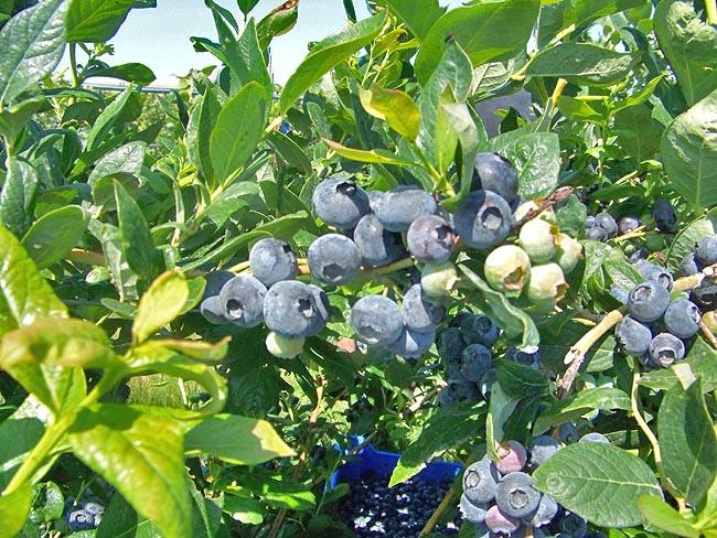 Blueberry explosion: Washington state farmers are bringing in more blueberries that ever before this year at more than 60 million pounds. In five years, they are expected to bring in nearly 100 million pounds.