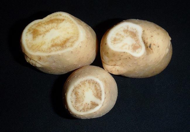 Tubers infected with zebra chip disease show dark, stripelike symptoms in the tissue.