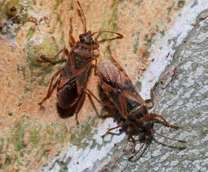 The elm seed bug made its first appearance in Idaho.