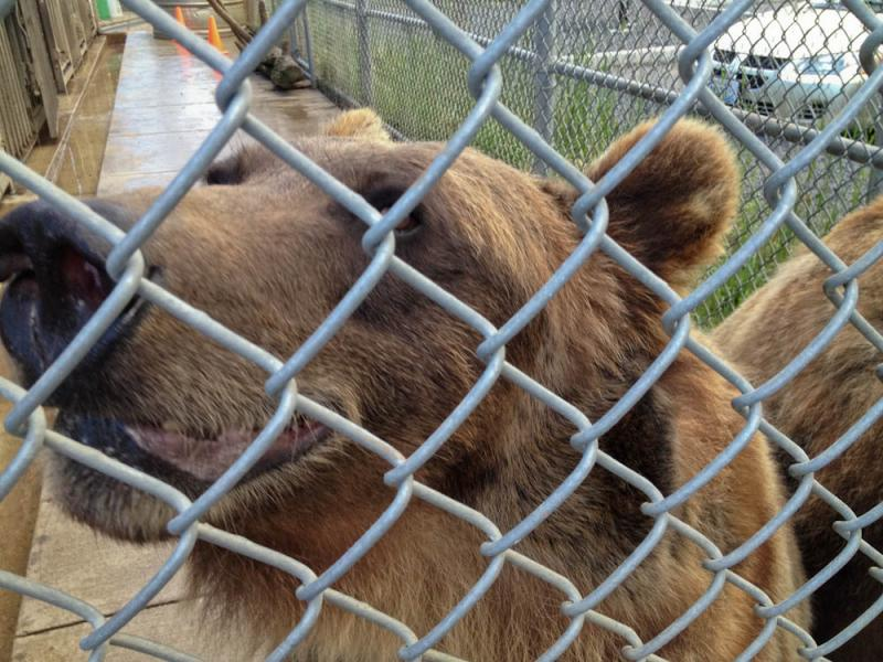 Researchers at the WSU Bear Research Center are working on ways to make grizzly bears happier while in captivity.