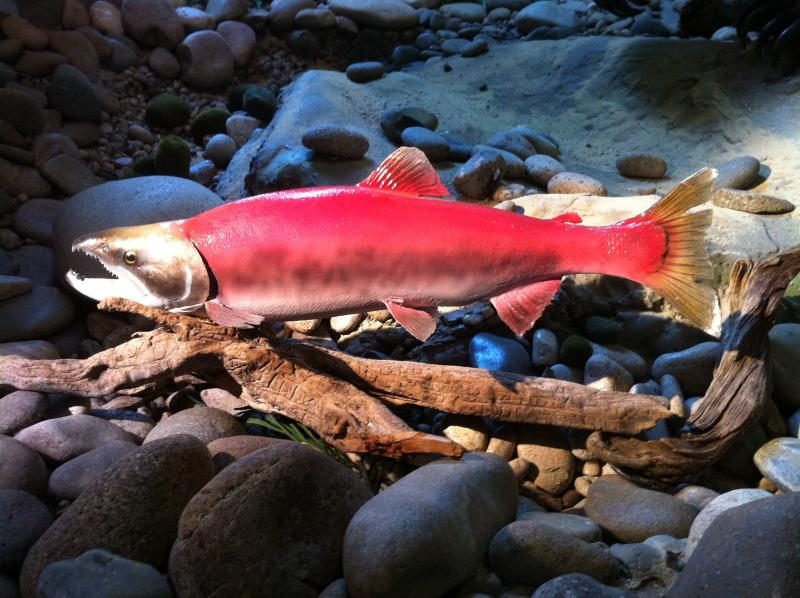 20 years ago, Lonesome Larry was the only sockeye salmon to make the 800-mile trip from the Pacific Ocean to Redfish Lake, once a popular spawning area for salmon.