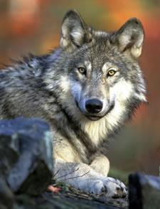 State officials killed a female wolf in northeastern Washington Tuesday.