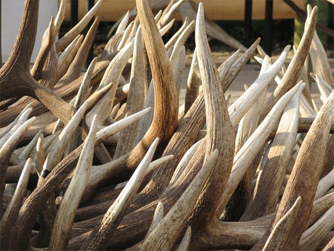 A series of raids by Washington Fish and Wildlife police have targeted suspected poachers and traffickers of items like game meat, endangered fish and antlers.