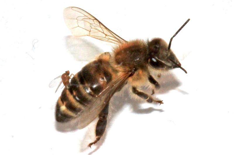 "A ""zombie fly"" (Apocephalus borealis) lays its eggs inside a honey bee."