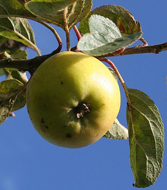 Much of this year's apple crop will likely rot, because there are not enough workers to get all the fruit in time.