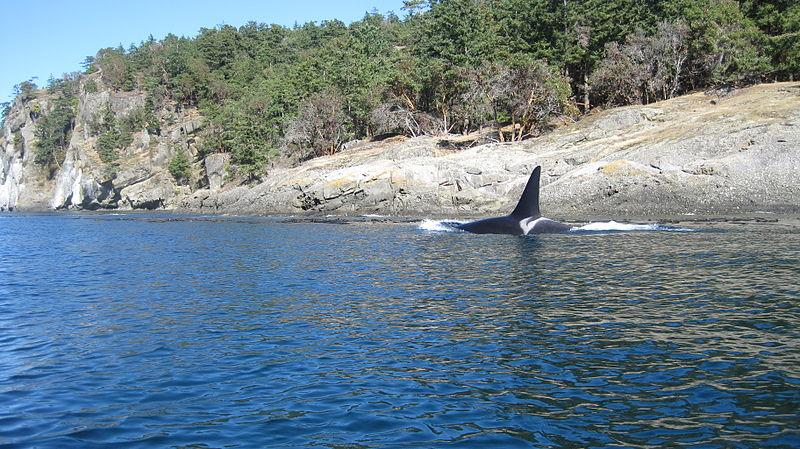 A male orca seen by the northwest tip of Steward Island in the Puget Sound.
