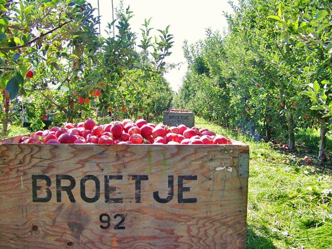 The Northwest has seen a bumper crop in apples, but the Midwest and East's crop got pummeled this year.