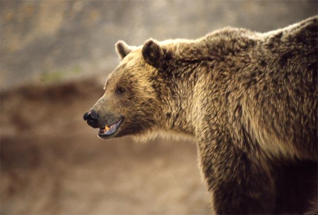 A wounded grizzly bear is on the loose in Idaho.