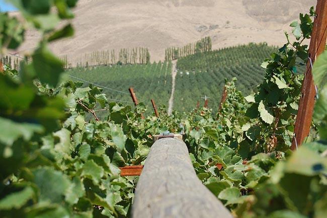 Grape vines near Yakima, Wash.