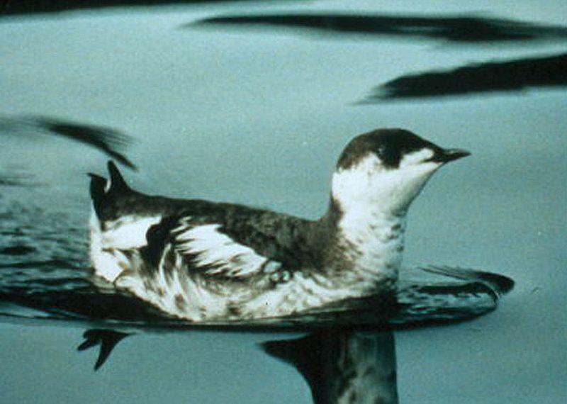Conservation groups say the marbled murrelet could be at a greater risk of extinction.