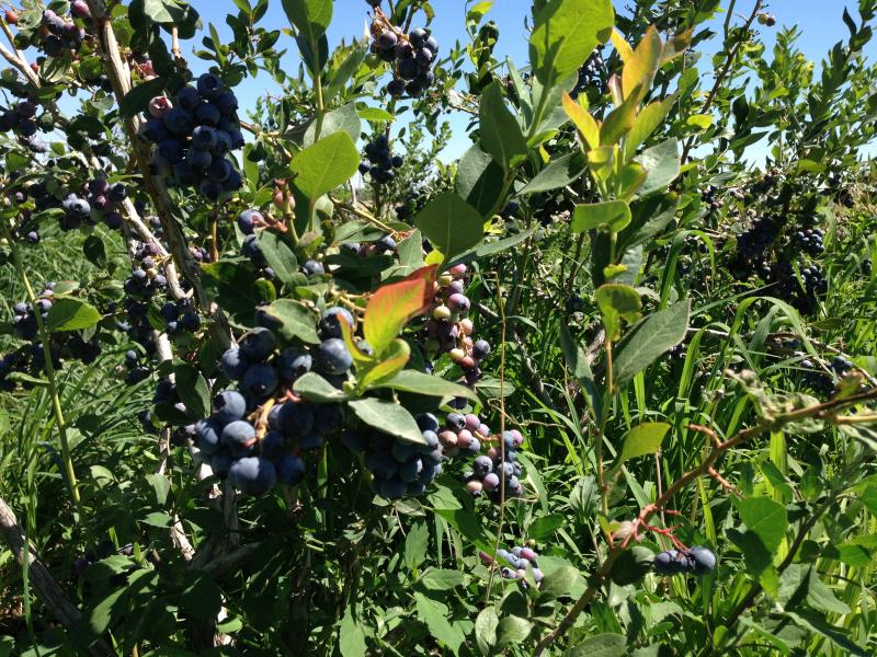 The Northwest is one of the top producers of blueberries in the nation. July is the peak of harvest. This summer, farmers say prices are dropping because of the glut of berries.