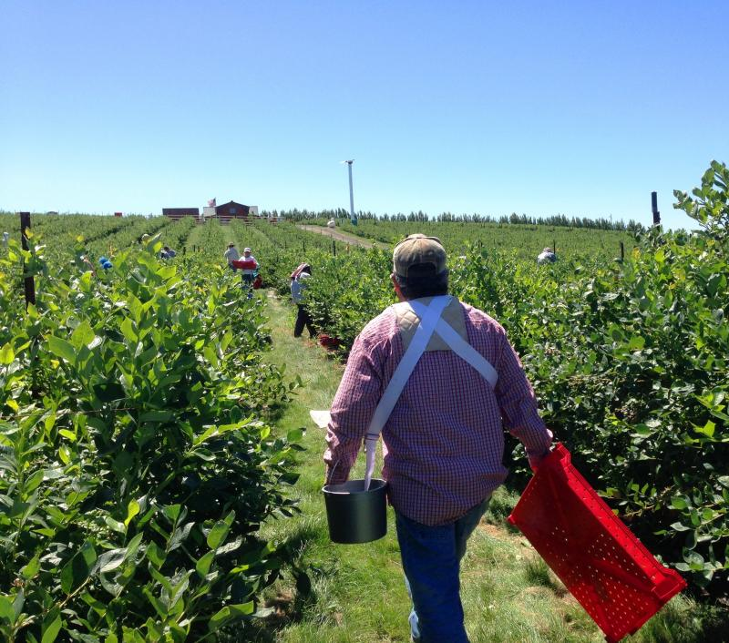 Dozens of workers at the Middleton Farm outside of Eltopia, Wash., stoop over chest high rows of bushes. It's hot, but they're they're bundled in hoodies, scarves, hats – anything to shield against the blazing sun.