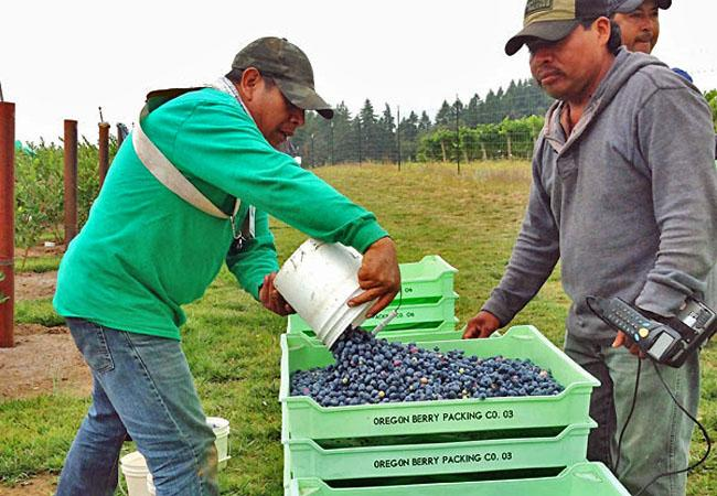 Workers weigh in their pickings at a blueberry farm near Hillsboro, Ore. They're paid on the pound.