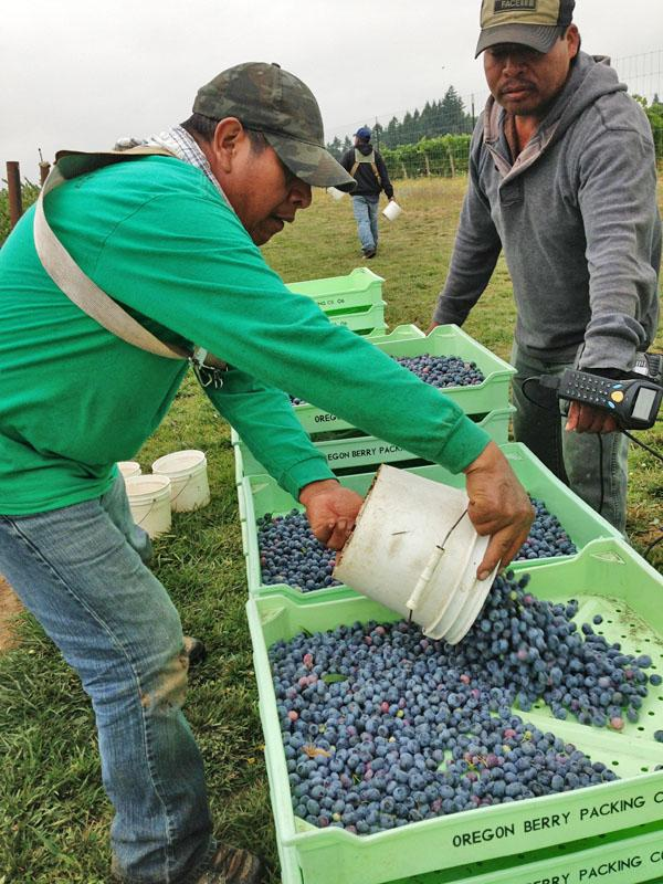 Workers weigh in their pickings at a blueberry farm near Hillsboro, Oregon. They're paid on the pound.