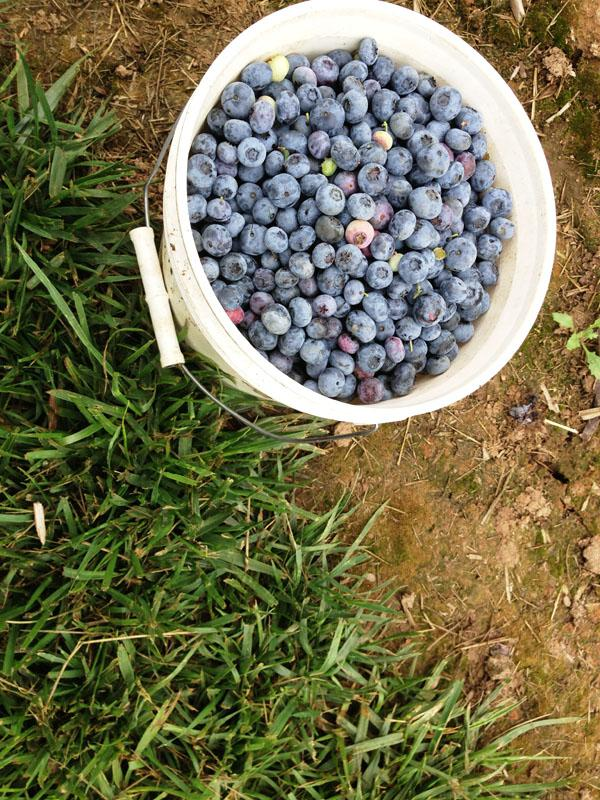 A pail full of lapis-blue, at a berry farm near Hillsboro, Ore.
