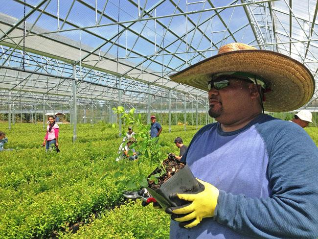 A worker tends small blueberry plants at Fall Creek Nursery near Eugene, Ore.