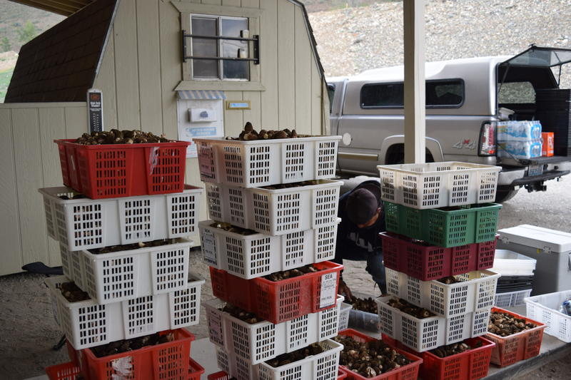 277.8 pounds of morels, collected by 2 crews on what B Oeun calls a  'below average' day.