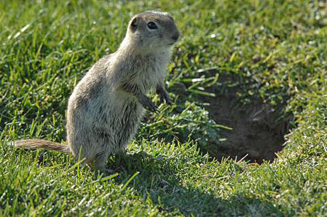 Ground squirrels south of Boise have tested positive for plague.