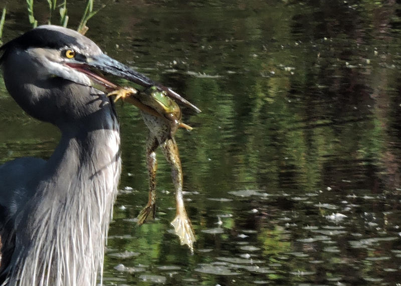 A Great Blue Heron as he captures his lunch.