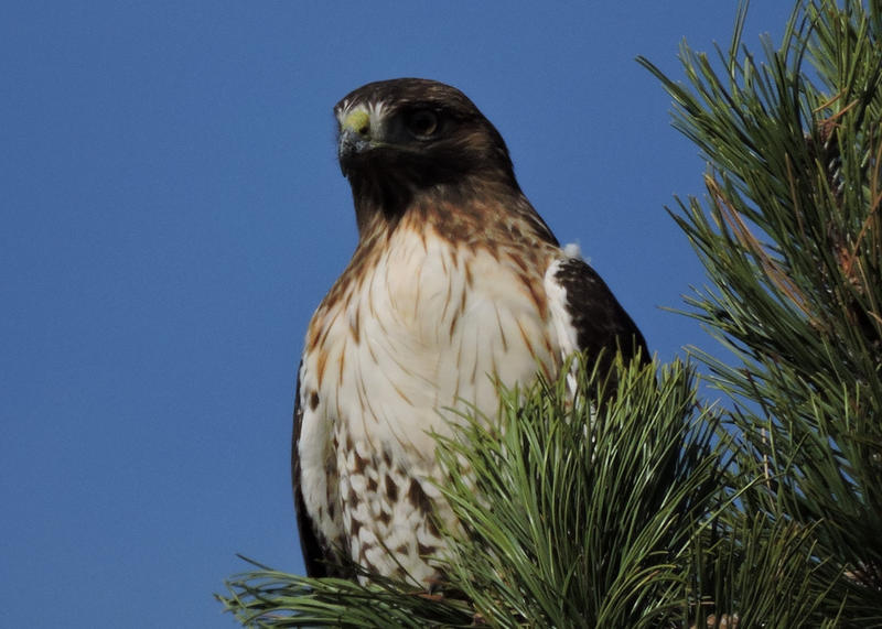 Red Tail Hawk enjoying the morning as he searches for his next meal.