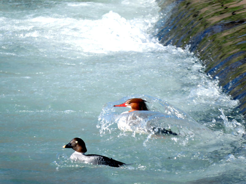 "A female red-head common Merganser and her buddy, a common Goldeneye ""shooting the rapids"" as they move down the creek."