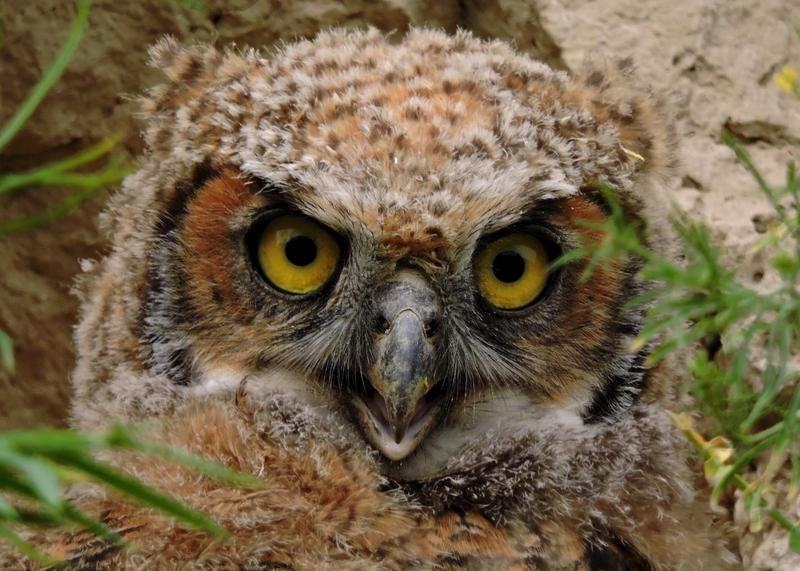 The Great Horned Owl is one of Blackaby's favorite birds to photograph.