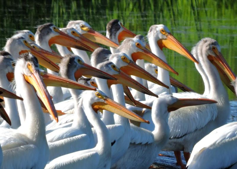 A flock of pelicans resting in Bennington Lake.