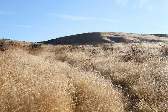 Fields of cheatgrass push out native species, drying early and forming flammable blankets of vegetation.