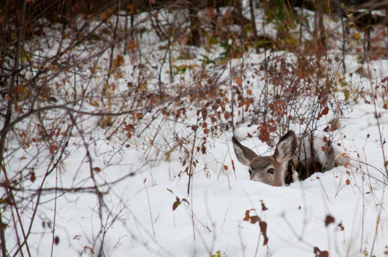 A doe spotted near Leavenworth. Turn on NWPR while you hide inside this winter.