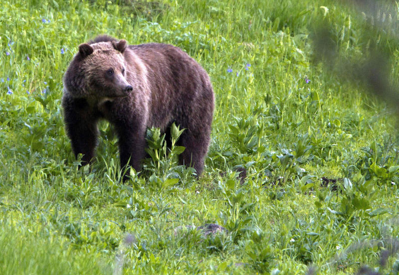 Grizzly bears once roamed the rugged landscape of the North Cascades in Washington state but few have been sighted in recent decades.