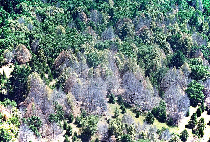 Many oak trees in Califrornia were killed by phytophthora, a deadly mold.