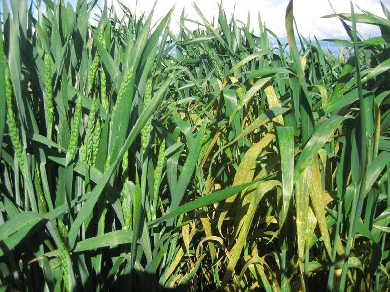 A fungus known as stripe rust grows on a susceptible variety of wheat in a USDA experimental field in Walla Walla, Washington.
