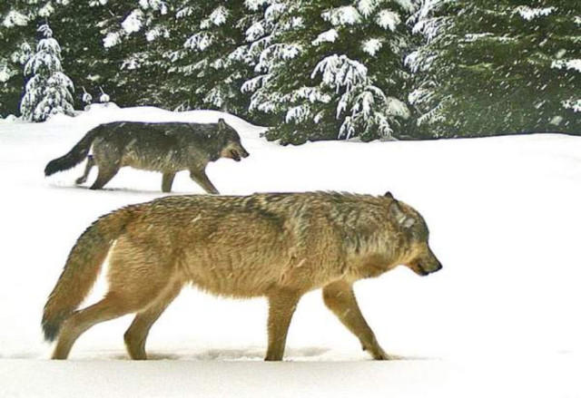 Two adult wolves from the Walla Walla Pack were caught on a remote trail camera Jan. 16, 2016, in Umatilla County, Oregon. Extreme weather in northeast Oregon last winter has disrupted surveys of area wolfpacks.