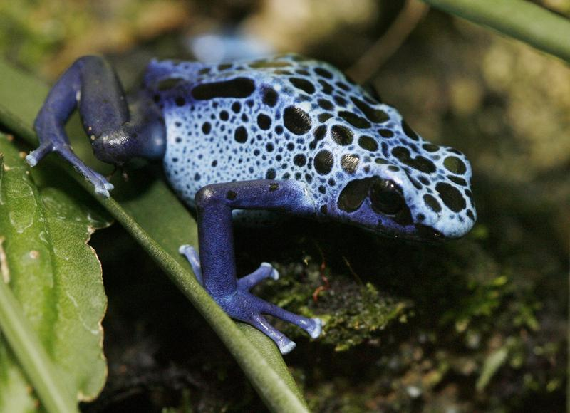 Pessier's research first began in the 1990s when he was figuring out why a zoo's poison dart frogs were dying.