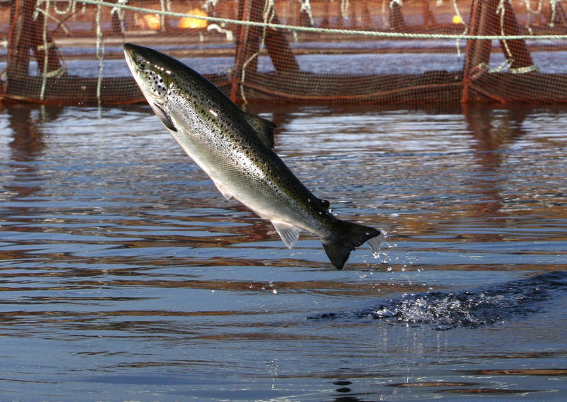 An Atlantic salmon leaps in a Cooke Aquaculture farm pen. More than 100,000 fish escaped from the Cooke Aquaculture farm in August after a net pen broke near broke near Puget Sound's Cyprus Island.