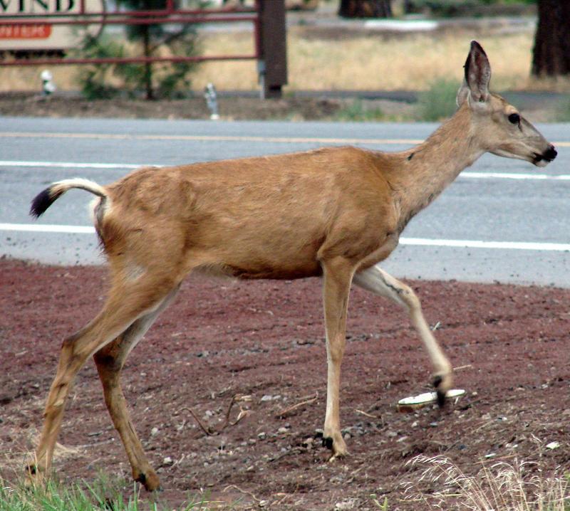 Deer crossing a road neer Sisters, Oregon.