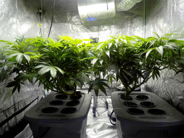File photo of indoor cannabis plants. Washington state does not allow home grows.