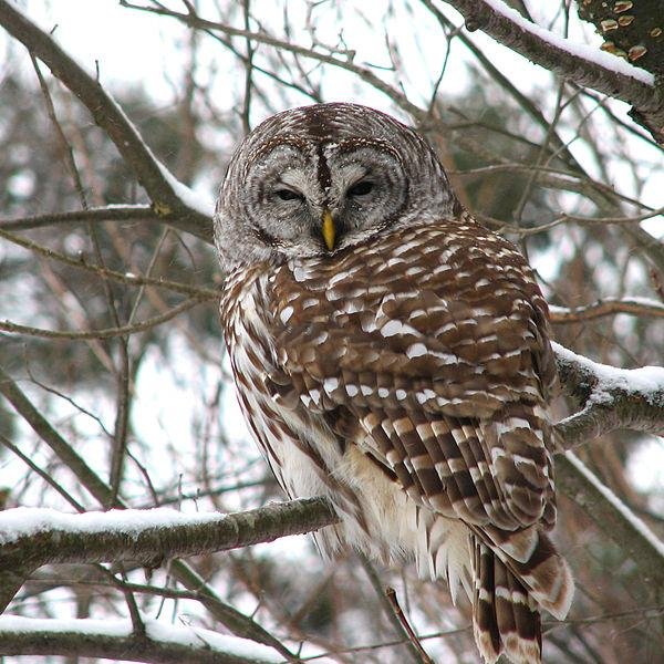 The invasive barred owl is believed to out compete the native, pickier eater, spotted owl.