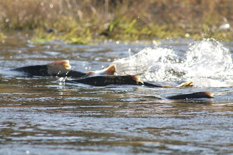 Chinook salmon swimming upstream