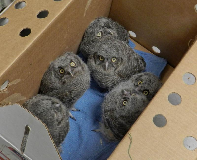 Western Screech Owlets at Washington State University.